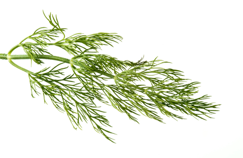 Related Keywords & Suggestions for dill weed